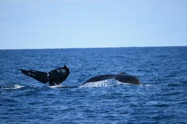 Observação de Baleias - Passeio 9.8.2016