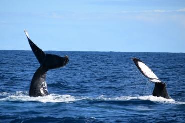 Observação de Baleias - Passeio 8.8.2016