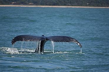 Observação de Baleias - Temporada 2017