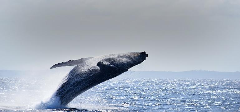 Observação de Baleias 2017 - Biologia e Anatomia Baleias Jubarte